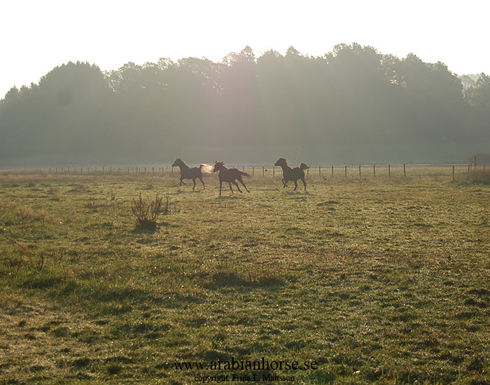 arabians-horses-egyptian-straight-breeder-latifah-sweden-landscape-photo-field-photographer