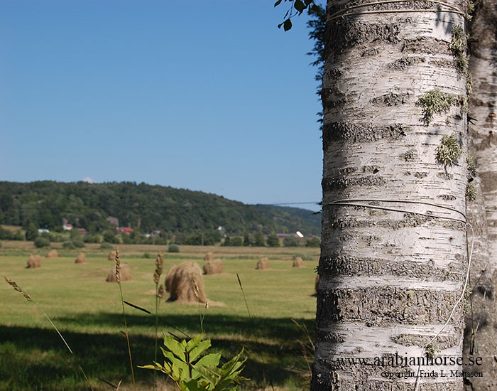 arabians-horses-egyptian-straight-breeder-latifah-sweden-landscape-photo-hay-birch-tree