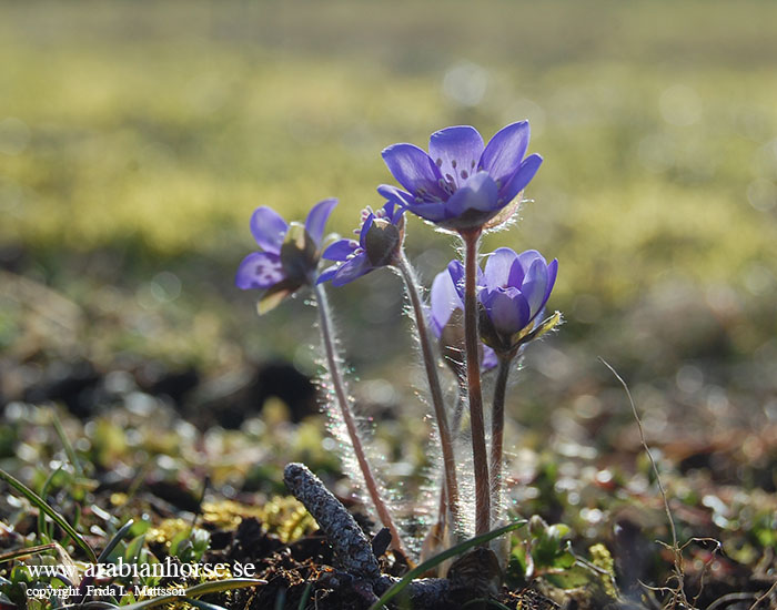 arabians-horses-egyptian-straight-breeder-latifah-sweden-landscape-photo-hepatica-blue-anemone