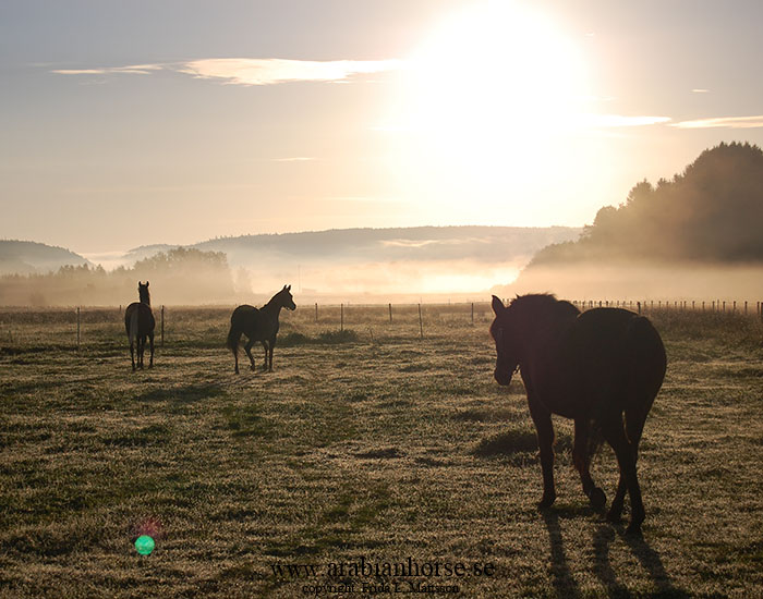 arabians-horses-egyptian-straight-breeder-latifah-sweden-landscape-photo-sunrise-sun