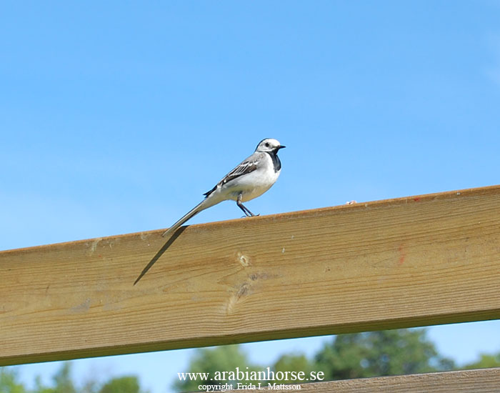 arabians-horses-egyptian-straight-breeder-latifah-sweden-landscape-photo-white-wagtail-bird
